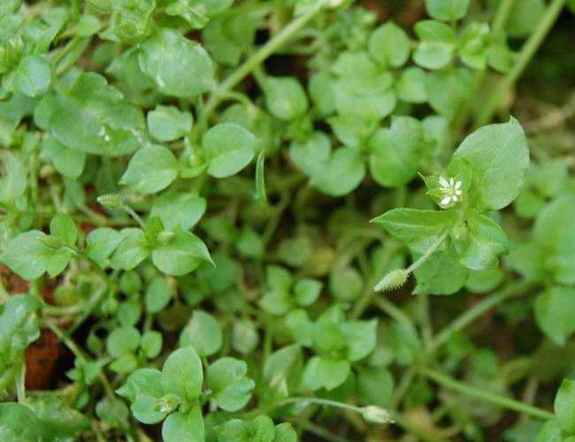 Мокрица - сорняк, указывающий на присутствие влаги в почве.